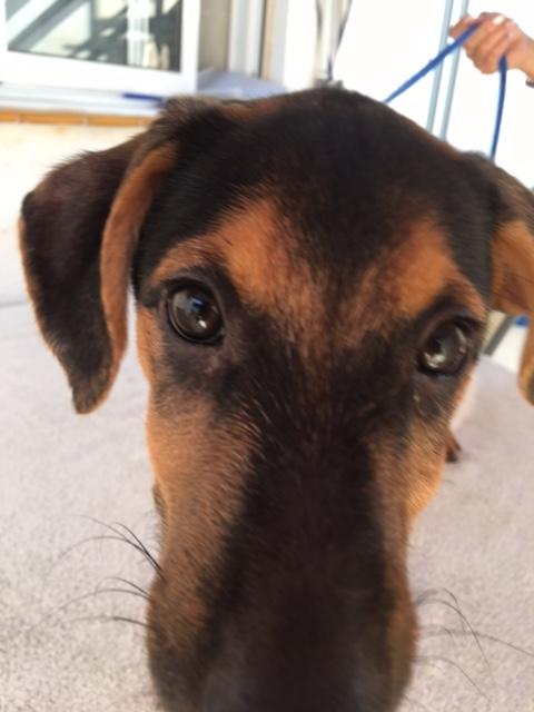 Bildertagebuch - Hannah (Storm), Sie sind auf der Suche nach einem kleinen Hundemädchen das Ihr Leben bereichern soll ? VERMITTELTT! 30425629ia