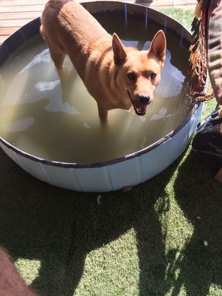 Bildertagebuch - Dingo, hübscher junger und verspielter Kerl ... Sie sind auf der Suche nach einem tollen Hundekumpel?? 30455571pu