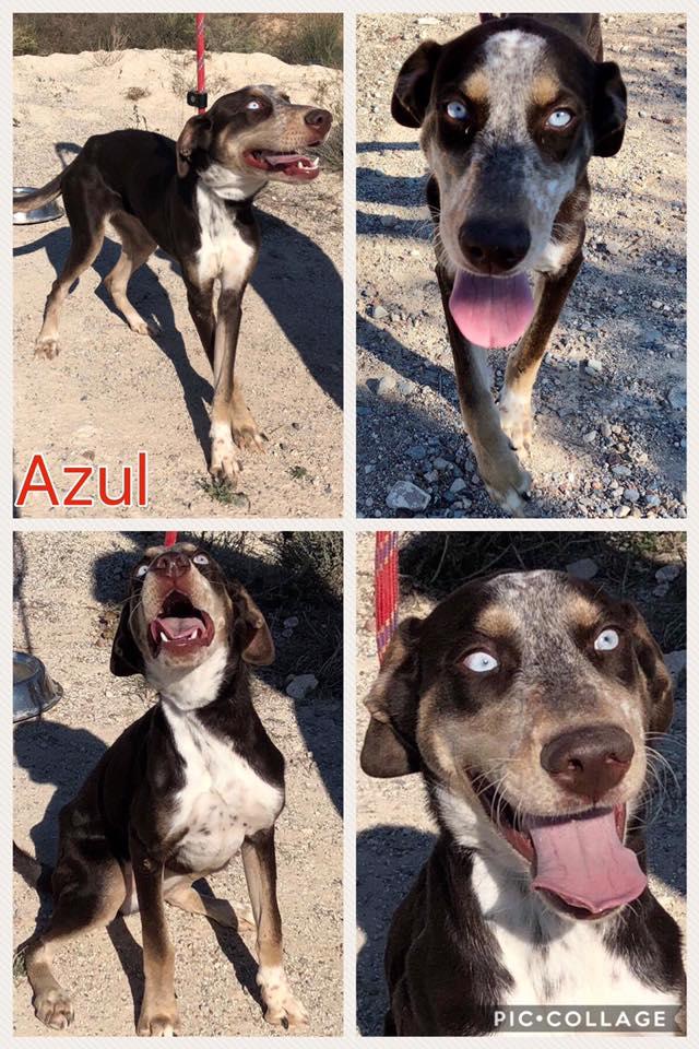 Bildertagebuch- Azul, nette sensible Hundedame mit wunderschönen blitzblauen Augen wünscht sich sehr eine Familie... - VERMITTELT! 30731901kb