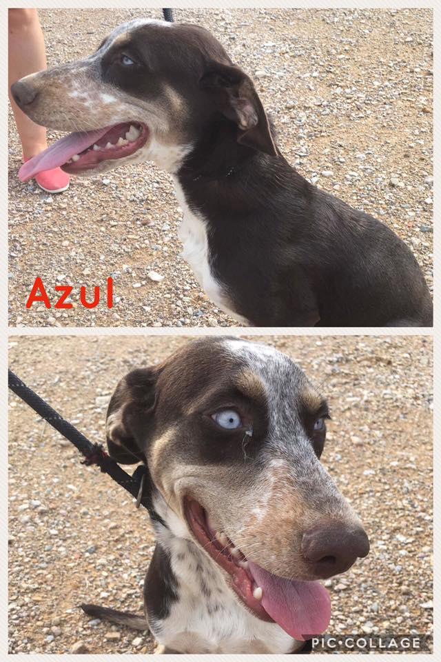 Bildertagebuch- Azul, nette sensible Hundedame mit wunderschönen blitzblauen Augen wünscht sich sehr eine Familie... - VERMITTELT! 30731907ho
