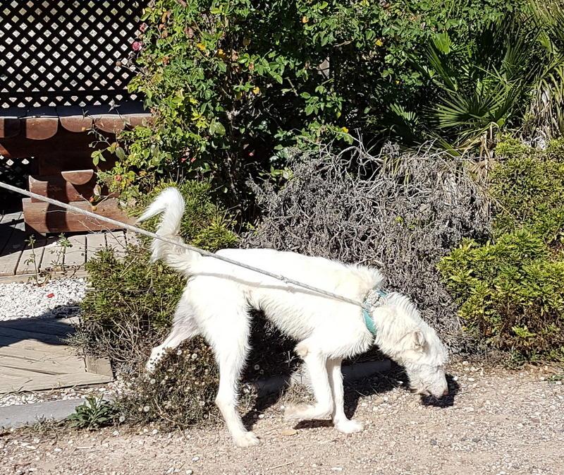 Bildertagebuch- Snowy, ein ganz bezauberndes schneeweißes Hunde-Mädchen die mehr und mehr abmagerte ... 30818039al