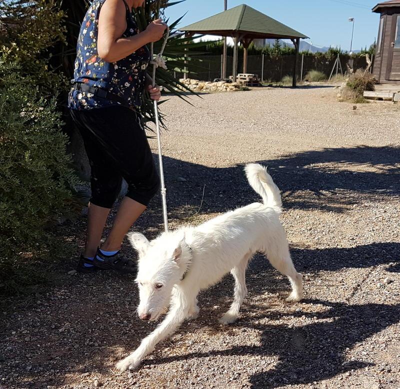 Bildertagebuch- Snowy, ein ganz bezauberndes schneeweißes Hunde-Mädchen die mehr und mehr abmagerte - VERMITTELT - 30818041ij