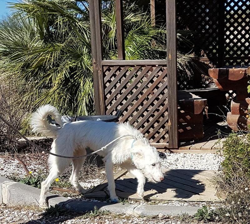Bildertagebuch- Snowy, ein ganz bezauberndes schneeweißes Hunde-Mädchen die mehr und mehr abmagerte - VERMITTELT - 30818057uc