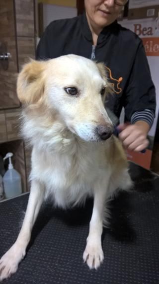 Coco, Golden-Retriever-Mischlingshündin, geb. ca. Januar 2015 30897318to