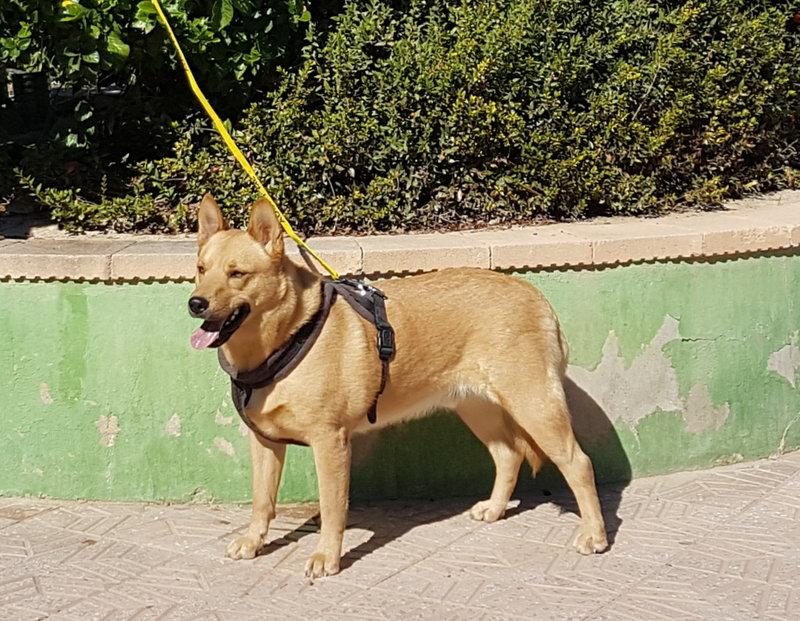 Bildertagebuch - Dingo, hübscher junger und verspielter Kerl ... Sie sind auf der Suche nach einem tollen Hundekumpel?? 31002597wb