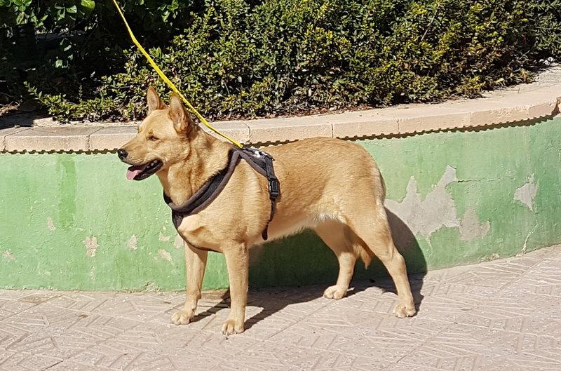 Bildertagebuch - Dingo, hübscher junger und verspielter Kerl ... Sie sind auf der Suche nach einem tollen Hundekumpel?? 31002599js