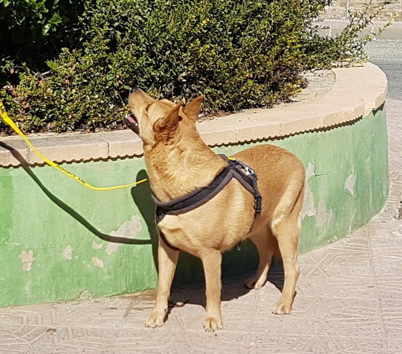 Bildertagebuch - Dingo, hübscher junger und verspielter Kerl ... Sie sind auf der Suche nach einem tollen Hundekumpel?? 31002601cu