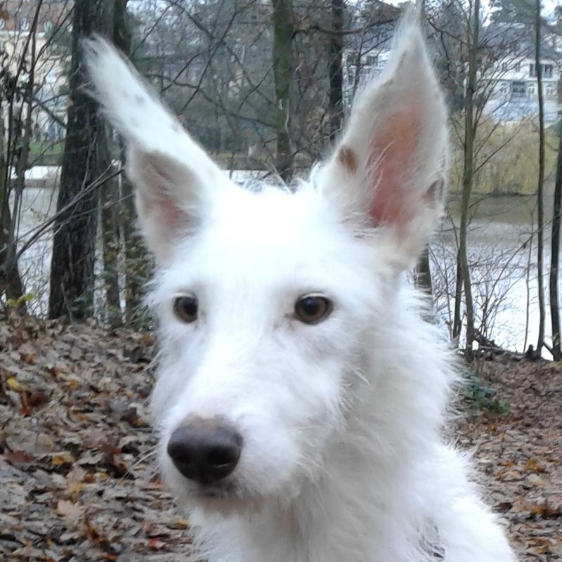 Bildertagebuch- Snowy, ein ganz bezauberndes schneeweißes Hunde-Mädchen die mehr und mehr abmagerte ... 31098461bv