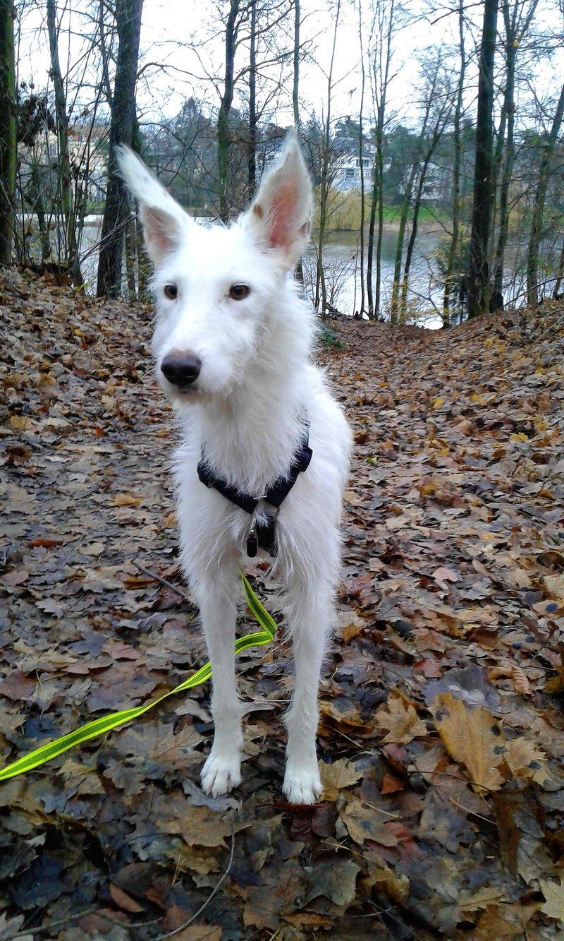 Bildertagebuch- Snowy, ein ganz bezauberndes schneeweißes Hunde-Mädchen die mehr und mehr abmagerte - VERMITTELT - 31098462pa