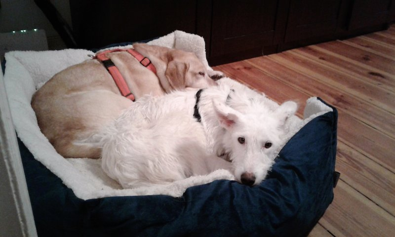 Bildertagebuch- Snowy, ein ganz bezauberndes schneeweißes Hunde-Mädchen die mehr und mehr abmagerte ... 31098463aj
