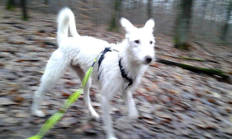 Bildertagebuch- Snowy, ein ganz bezauberndes schneeweißes Hunde-Mädchen die mehr und mehr abmagerte ... 31098464om