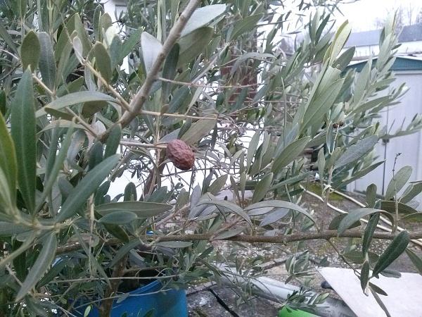 olivenbaum im garten pflanzen bekloppt oder einen versuch wert. Black Bedroom Furniture Sets. Home Design Ideas