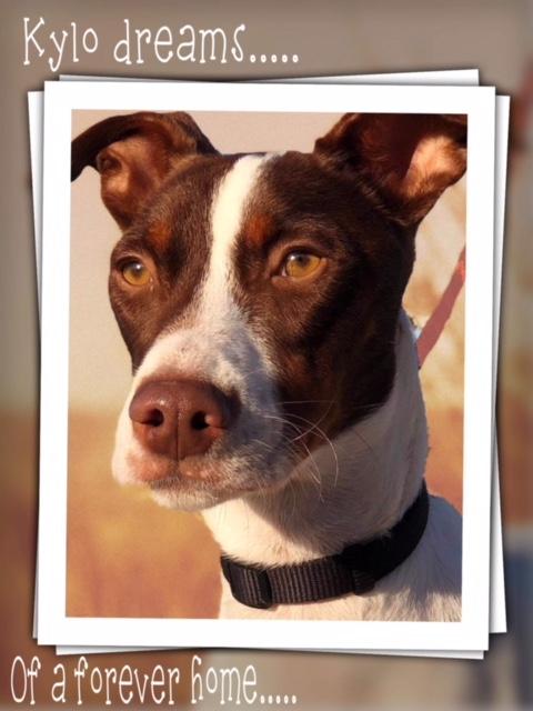 Bildertagebuch  - Kylo: ein bildschöner, eleganter, und cleverer Hund für aktive Menschen! - VERMITTELT- 31341182is