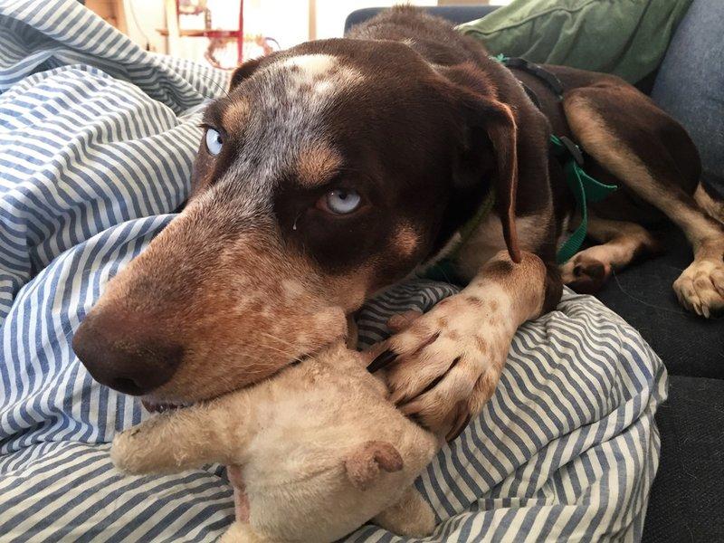 Bildertagebuch- Azul, nette sensible Hundedame mit wunderschönen blitzblauen Augen wünscht sich sehr eine Familie... - VERMITTELT! 31341421qj
