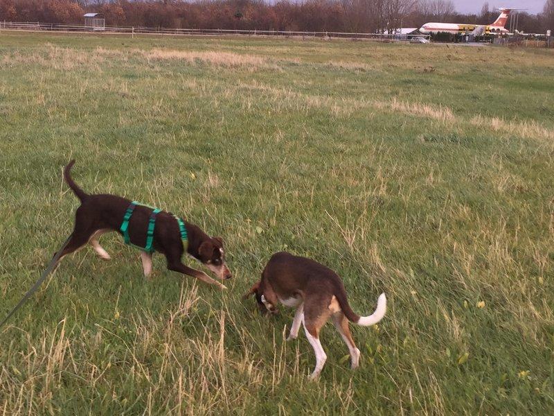 Bildertagebuch- Azul, nette sensible Hundedame mit wunderschönen blitzblauen Augen wünscht sich sehr eine Familie... - VERMITTELT! 31341422wd