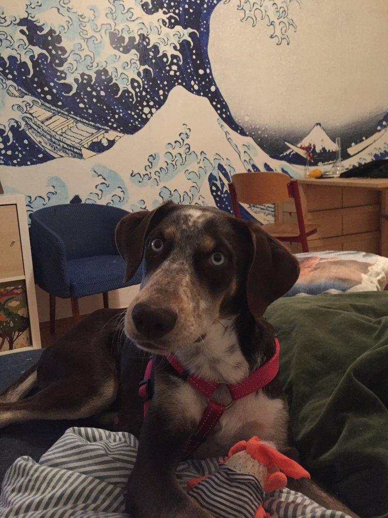 Bildertagebuch- Azul, nette sensible Hundedame mit wunderschönen blitzblauen Augen wünscht sich sehr eine Familie... - VERMITTELT! 31341431ss
