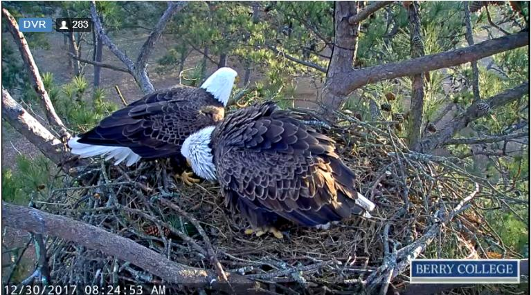 berry eagle cam nest 2