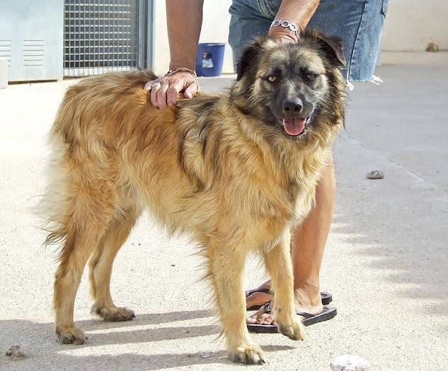 Bildertagebuch - Sirius, intelligenter hübscher Hundestern möchte so gerne endlich ein Zuhause ... 31454074gw