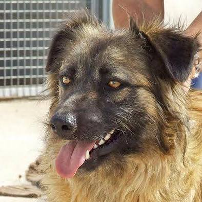 Bildertagebuch - Sirius, intelligenter hübscher Hundestern möchte so gerne endlich ein Zuhause ... 31454078ja