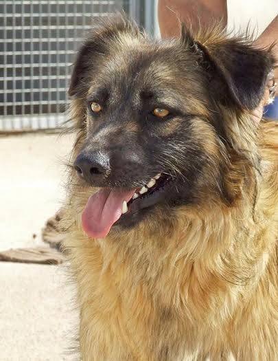 Bildertagebuch - Sirius, intelligenter hübscher Hundestern möchte so gerne endlich ein Zuhause ... 31454079op
