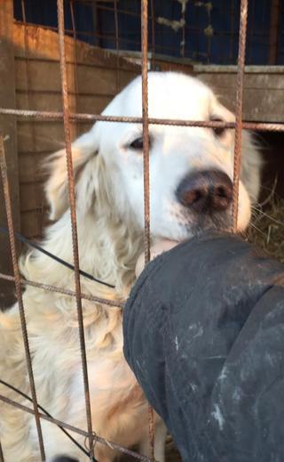 Teddy, Golden-Retriever-Rüde, geb. ca. Januar 2011 31531107dy