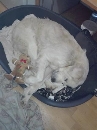 Teddy, Golden-Retriever-Rüde, geb. ca. Januar 2011 31531109qi