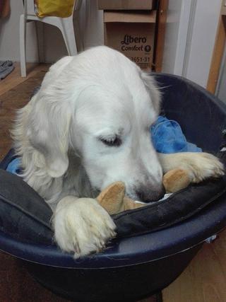 Teddy, Golden-Retriever-Rüde, geb. ca. Januar 2011 31531136hz