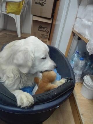 Teddy, Golden-Retriever-Rüde, geb. ca. Januar 2011 31531138ka
