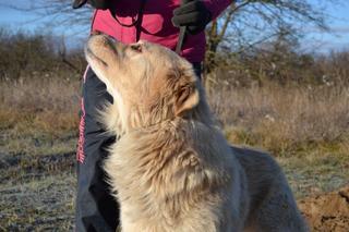 Dusty, Golden-Retriever-Mischlingsrüde, geb. ca. März 2012 31566202gj