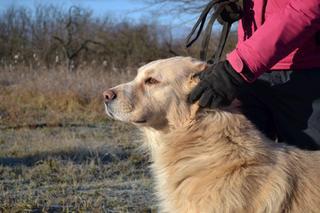 Dusty, Golden-Retriever-Mischlingsrüde, geb. ca. März 2012 31566203fk