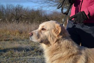 Dusty, Golden-Retriever-Mischlingsrüde, geb. ca. März 2012 31566204dq