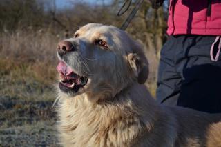 Dusty, Golden-Retriever-Mischlingsrüde, geb. ca. März 2012 31566205lr