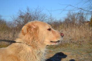 Dusty, Golden-Retriever-Mischlingsrüde, geb. ca. März 2012 31567885rg