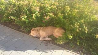 Dusty, Golden-Retriever-Mischlingsrüde, geb. ca. März 2012 31567906lm