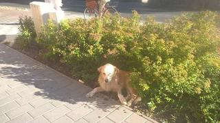 Dusty, Golden-Retriever-Mischlingsrüde, geb. ca. März 2012 31567908uz