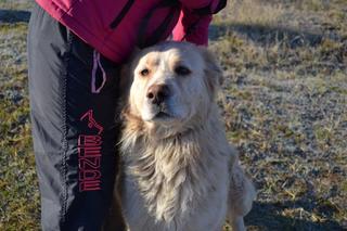 Dusty, Golden-Retriever-Mischlingsrüde, geb. ca. März 2012 31567910ma