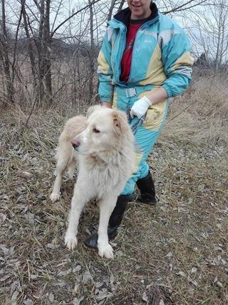 Dusty, Golden-Retriever-Mischlingsrüde, geb. ca. März 2012 31567950ah