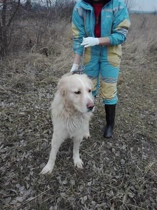 Dusty, Golden-Retriever-Mischlingsrüde, geb. ca. März 2012 31567951tv
