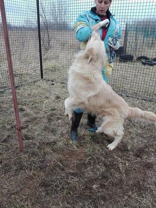 Dusty, Golden-Retriever-Mischlingsrüde, geb. ca. März 2012 31567952mu