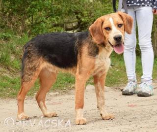 Egon, Beaglemischlingsrüde, geb. ca. September 2016 31576353pc