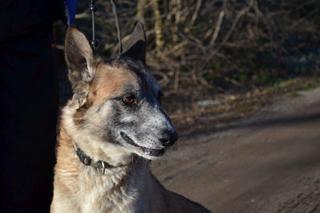 Kajlo, Schäferhundmischlingsrüde, geb. ca. Januar 2012 31734553wn