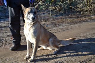 Kajlo, Schäferhundmischlingsrüde, geb. ca. Januar 2012 31734556rv