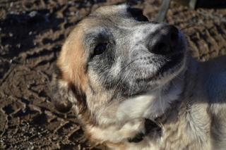 Kajlo, Schäferhundmischlingsrüde, geb. ca. Januar 2012 31734560nd