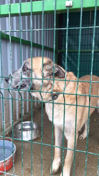 Kajlo, Schäferhundmischlingsrüde, geb. ca. Januar 2012 31734569vn