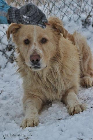 Dusty, Golden-Retriever-Mischlingsrüde, geb. ca. März 2012 31788767ev
