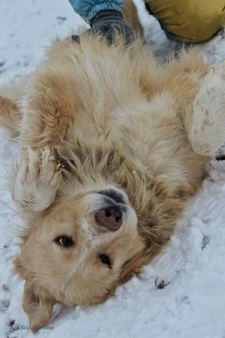 Dusty, Golden-Retriever-Mischlingsrüde, geb. ca. März 2012 31788768jc