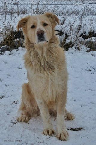 Dusty, Golden-Retriever-Mischlingsrüde, geb. ca. März 2012 31788769df