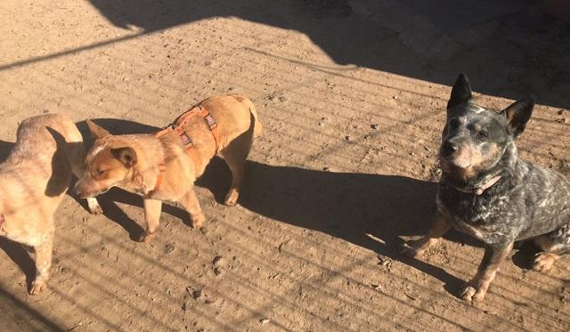 Bildertagebuch - HERR ROSSI, tauber Cattle Dog Welpe sucht besondere Menschen...Vermittelt! 31965010nz