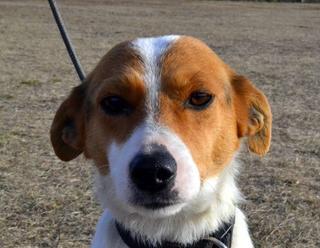 Blanka, Whipet-Beagle-Mischlingshündin, geb. ca. Januar 2016 32033644qt