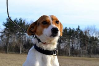Blanka, Whipet-Beagle-Mischlingshündin, geb. ca. Januar 2016 32033646bp